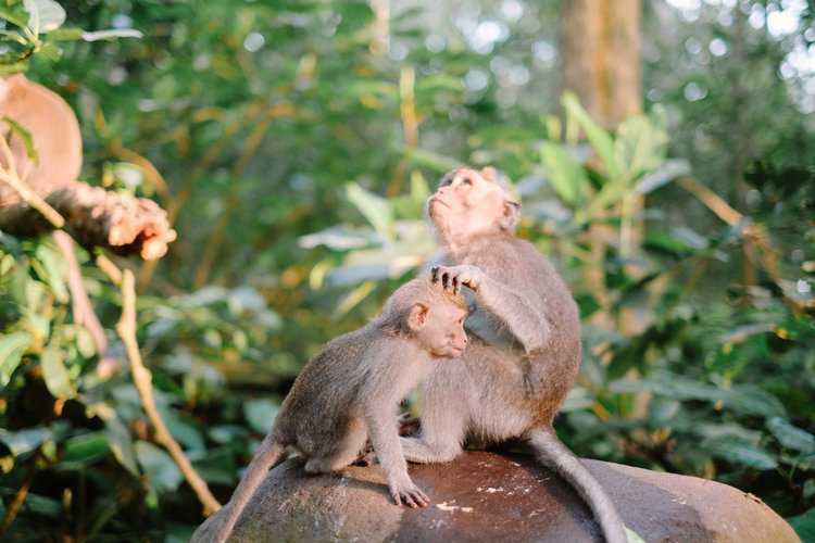 Baby monkeys in the Monkey Forest of Bali, Indonesia